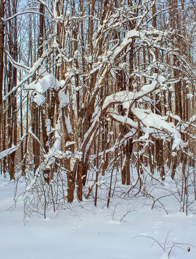 De krökta filialerna av träden efter ett snöfall arkivbilder