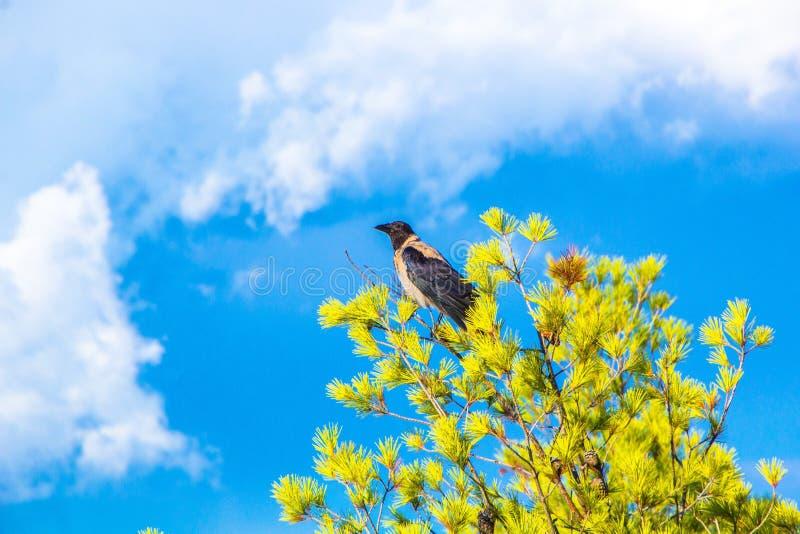 De kraai met een kap zit op een pijnboomboom tegenover een dramatische blauwe hemel De boom en de hemel van de vogelpijnboom Mooi royalty-vrije stock foto