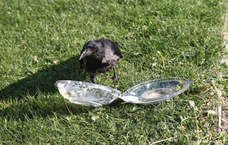 De kraai trekt voedsel uit plastic container stock afbeeldingen