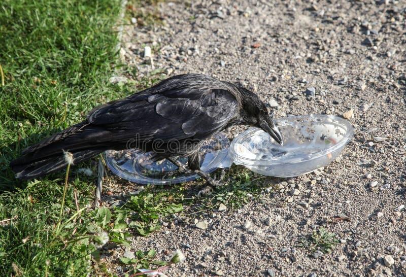 De kraai trekt voedsel uit plastic container royalty-vrije stock foto's