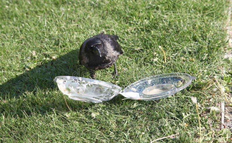 De kraai trekt voedsel uit plastic container royalty-vrije stock fotografie