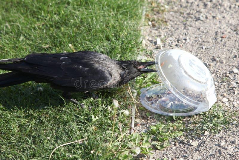 De kraai trekt voedsel uit plastic container royalty-vrije stock afbeeldingen