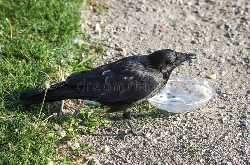 De kraai trekt voedsel uit plastic container stock afbeelding