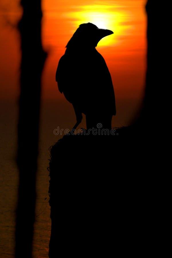De Kraai van de zonsondergang royalty-vrije stock afbeelding