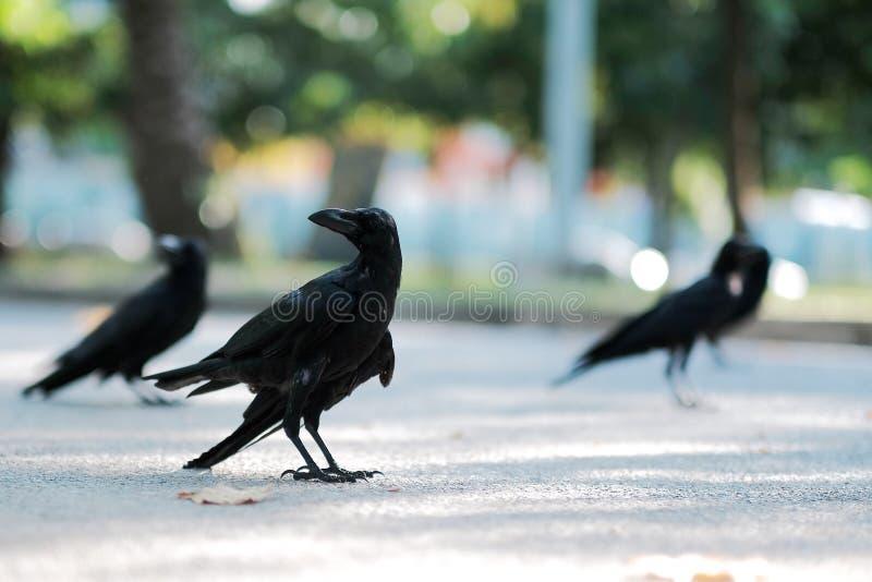 De kraai zoekt voedsel op de straat royalty-vrije stock afbeelding