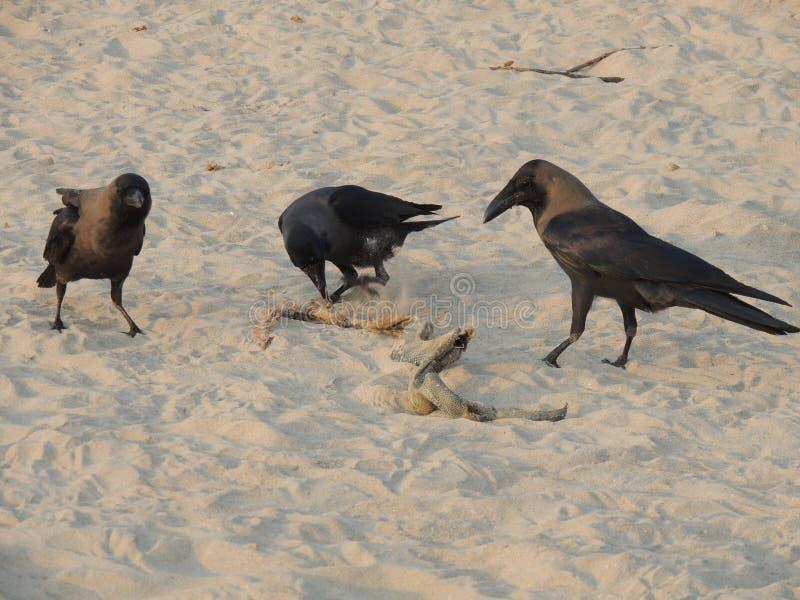 De kraaien eten overzeese slang op het strandwild stock afbeeldingen