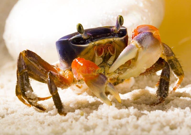 De krab met shells stock afbeeldingen