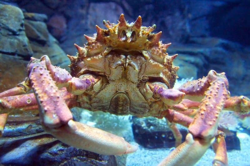 De Krab van de spin (squinado Maja) royalty-vrije stock fotografie