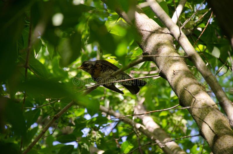 De Kramsvogellijster royalty-vrije stock fotografie