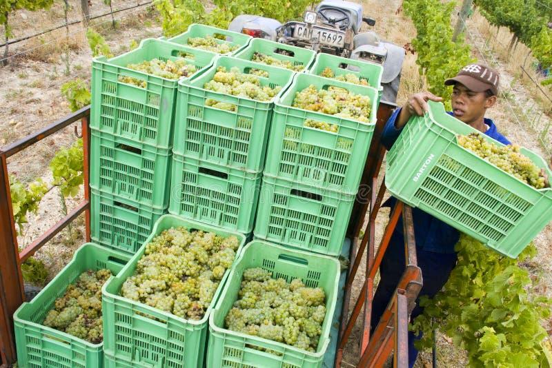 De kratten van de de arbeiderslading van het landbouwbedrijf van geoogste druiven royalty-vrije stock afbeeldingen