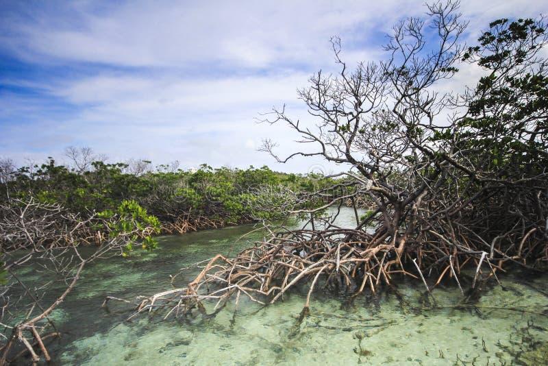 De kreek van de zoutwatermangrove stock afbeelding