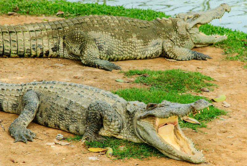 De krokodil royalty-vrije stock foto