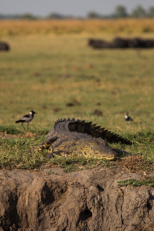 De krokodil die van Nijl bij Okavango-delta wachten stock afbeeldingen