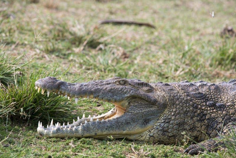 De krokodil die van Nijl in het gras legt royalty-vrije stock afbeelding