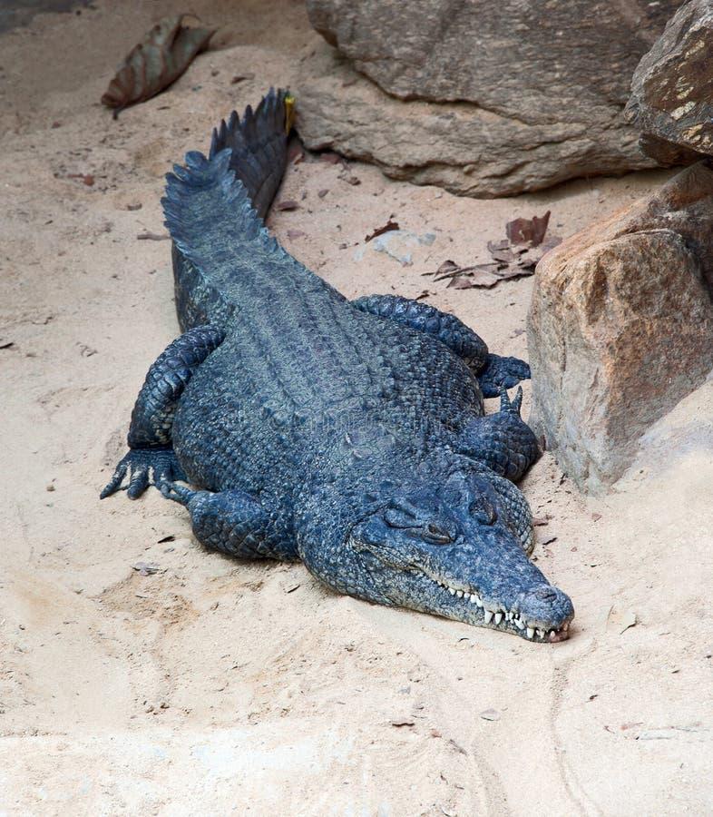 De krokodil die van Nijl op het strand rusten stock fotografie