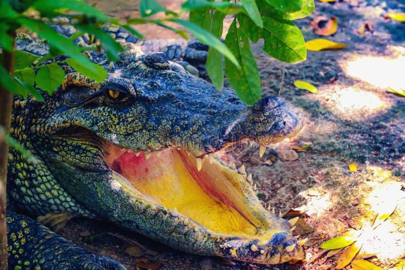 De krokodil opent zijn mond stock afbeelding