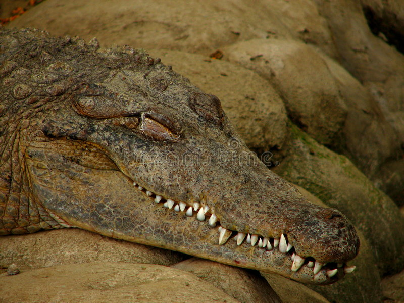 De Krokodil van de slaap stock fotografie
