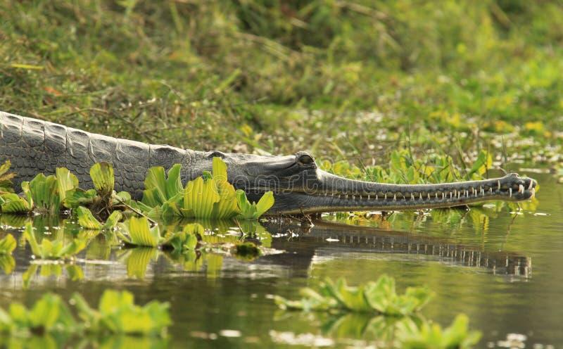 De Krokodil van Gharial royalty-vrije stock afbeeldingen