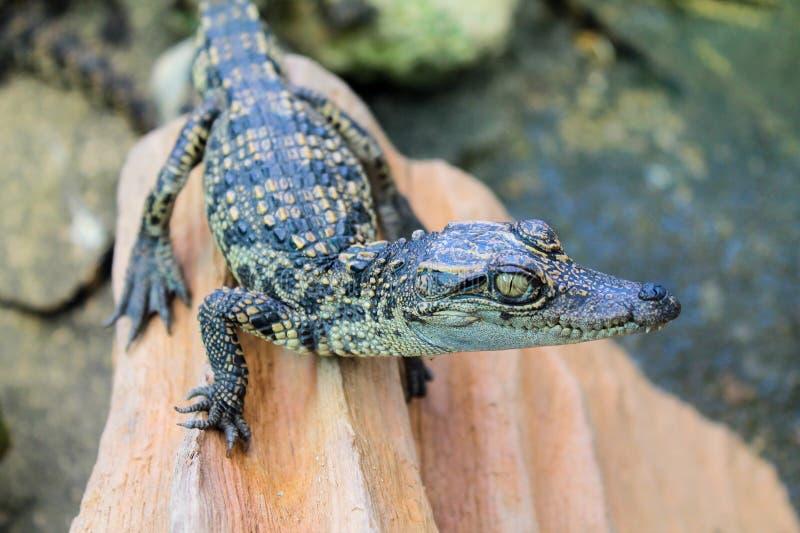 De Krokodil van het babyzoutwater stock afbeeldingen