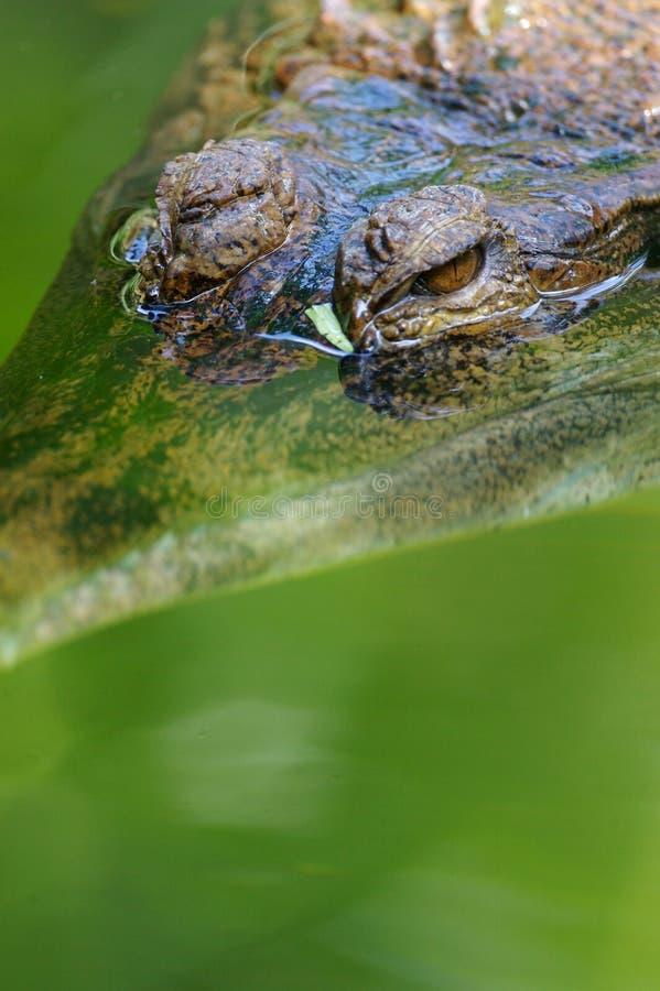 De Krokodil van het Zoet water stock afbeelding