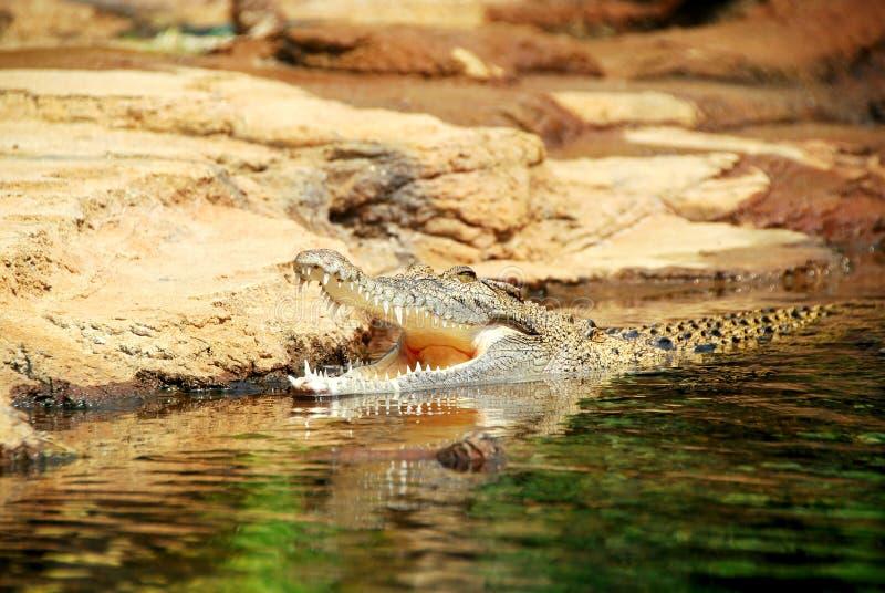 De Krokodil van het zoute Water stock foto