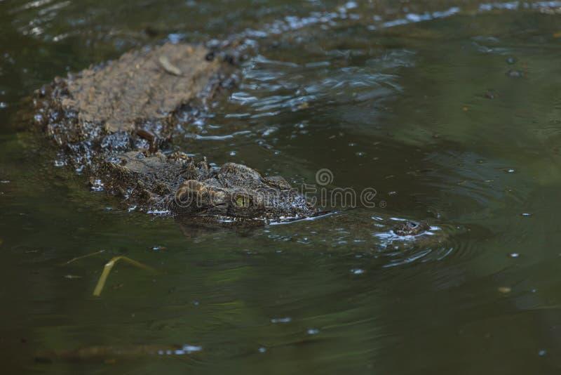 De krokodil van het zoutwater royalty-vrije stock foto's