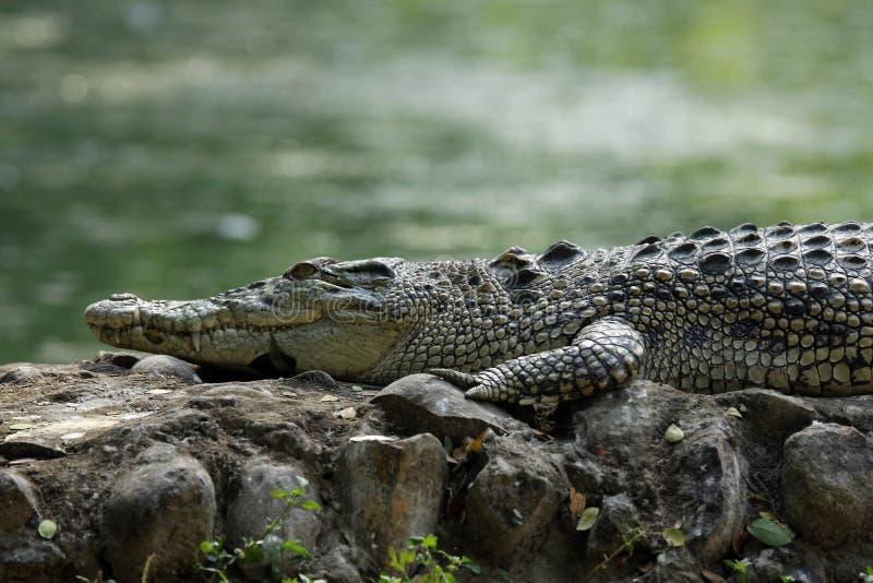 De krokodil van het zoutwater stock afbeelding