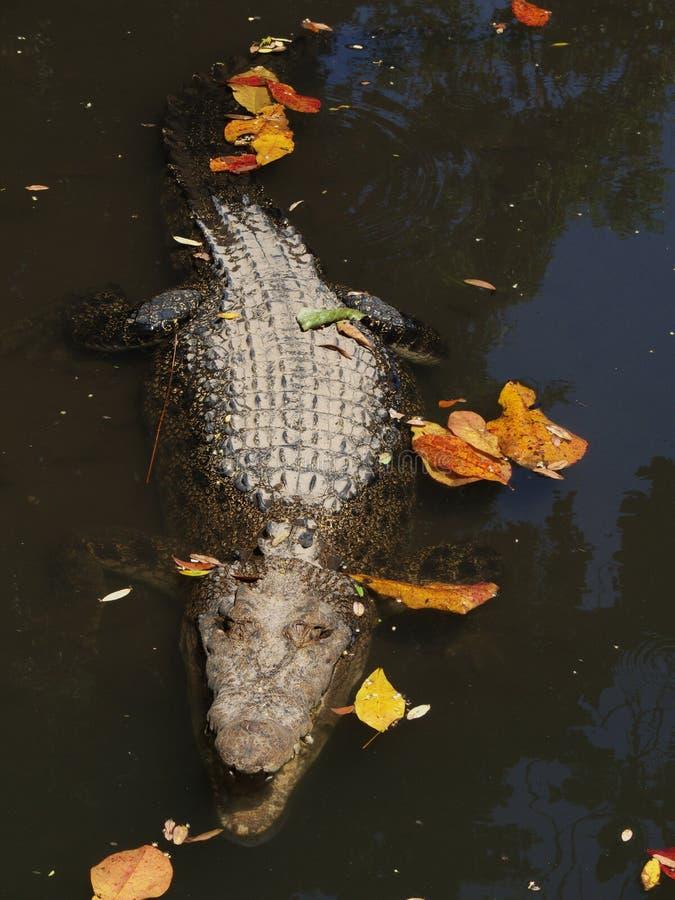 De krokodil van Nieuw-Guinea royalty-vrije stock foto's