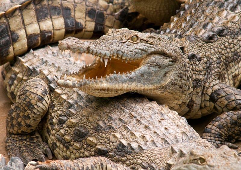 De krokodil van Nijl. stock afbeelding