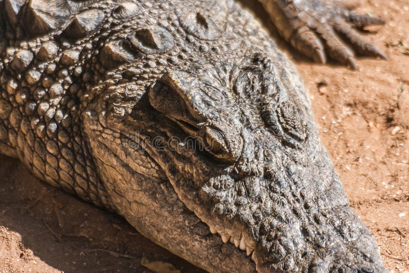 De krokodil van Nijl royalty-vrije stock foto