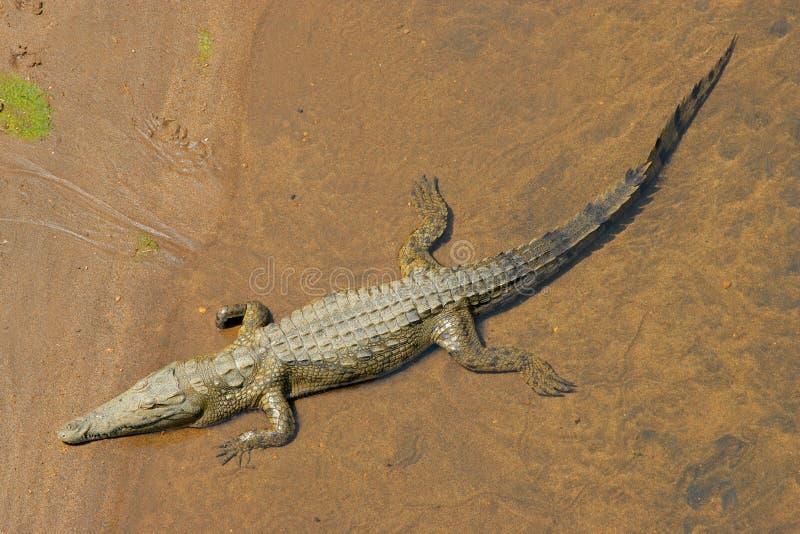 De krokodil van Nijl stock afbeeldingen