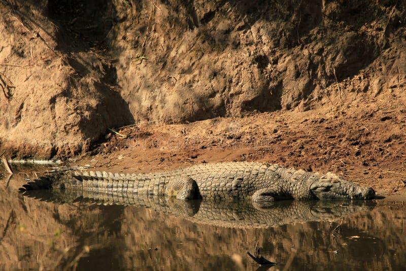 De Krokodil van Nijl stock fotografie