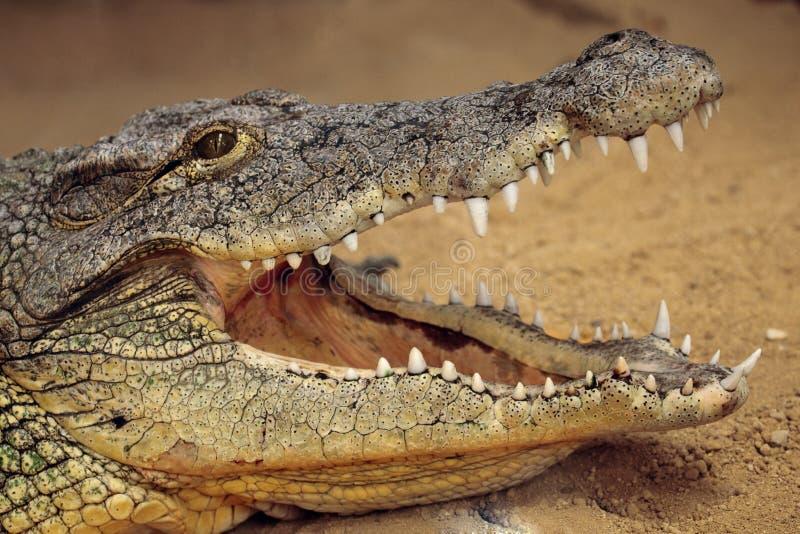 De krokodil van Nijl stock foto
