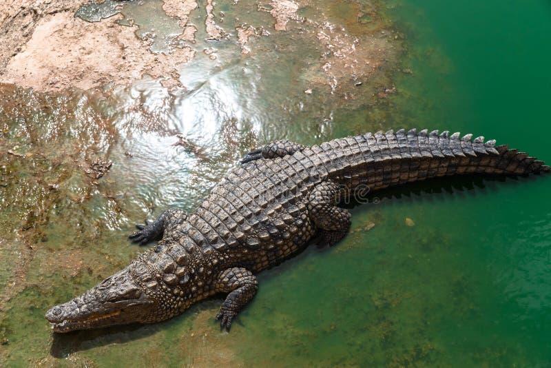 De krokodil van Nijl of crocodylusniloticus op riverbank, dierlijk park, Marokko stock afbeelding