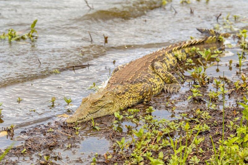 De krokodil van Nijl het zonnebaden royalty-vrije stock afbeeldingen