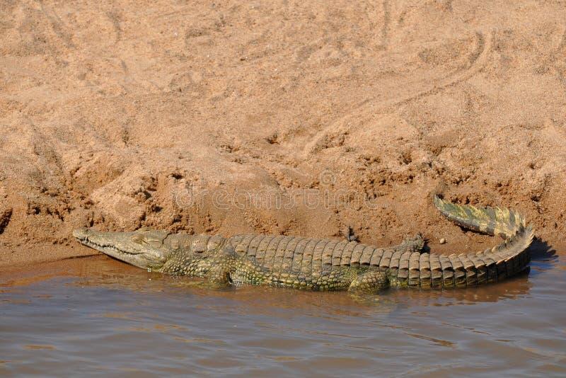 De krokodil van Nijl in Kruger nationaal park, Zuiden Afric royalty-vrije stock afbeelding