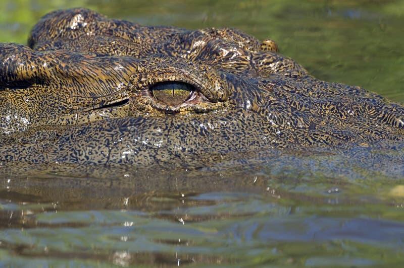 De krokodil van Nijl (niloticus Crocodylus) stock fotografie