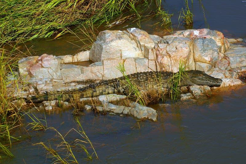 De krokodil van Nijl (niloticus Crocodylus) royalty-vrije stock afbeeldingen