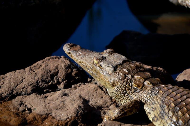 De krokodil van Nijl (niloticus Crocodylus) stock foto