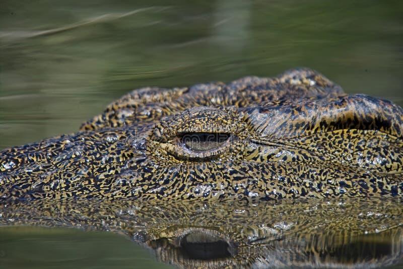 De krokodil van Nijl (niloticus Crocodylus) stock afbeeldingen