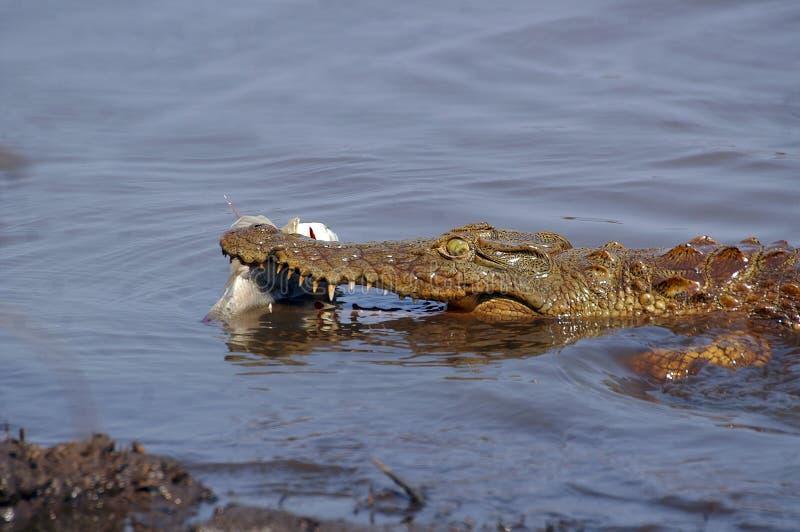 De krokodil van Nijl (niloticus Crocodylus) stock foto's