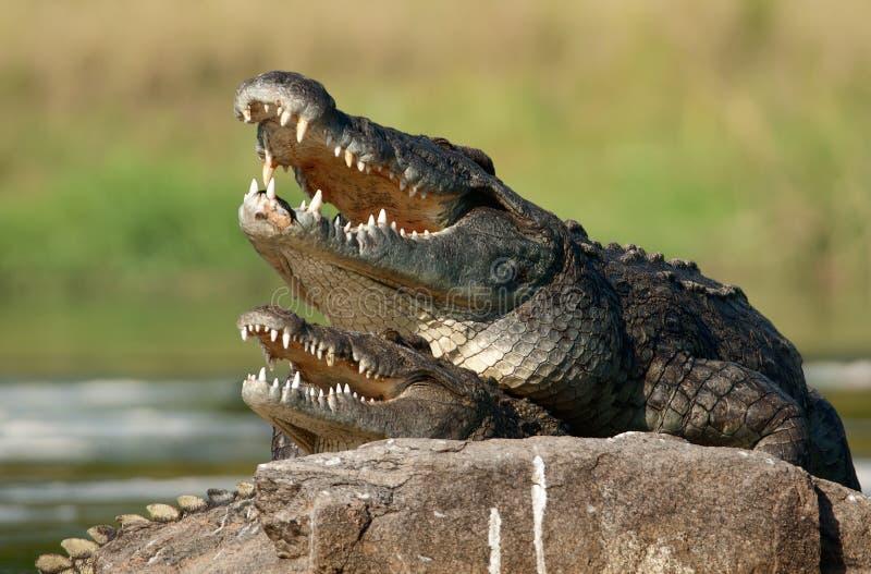 De krokodil van Nijl (niloticus Crocodylus die), koppelt, stock fotografie