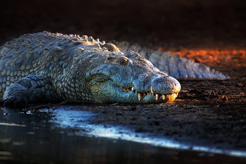 De krokodil van Nijl op riverbank stock fotografie