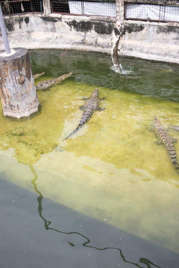 De krokodil in de vijver springt van het water om vlees te eten stock fotografie