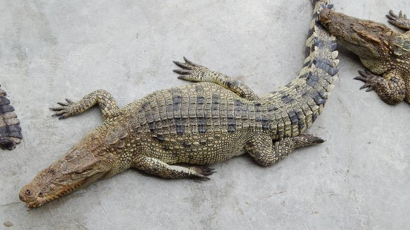 De krokodillen liggen op de grond royalty-vrije stock fotografie