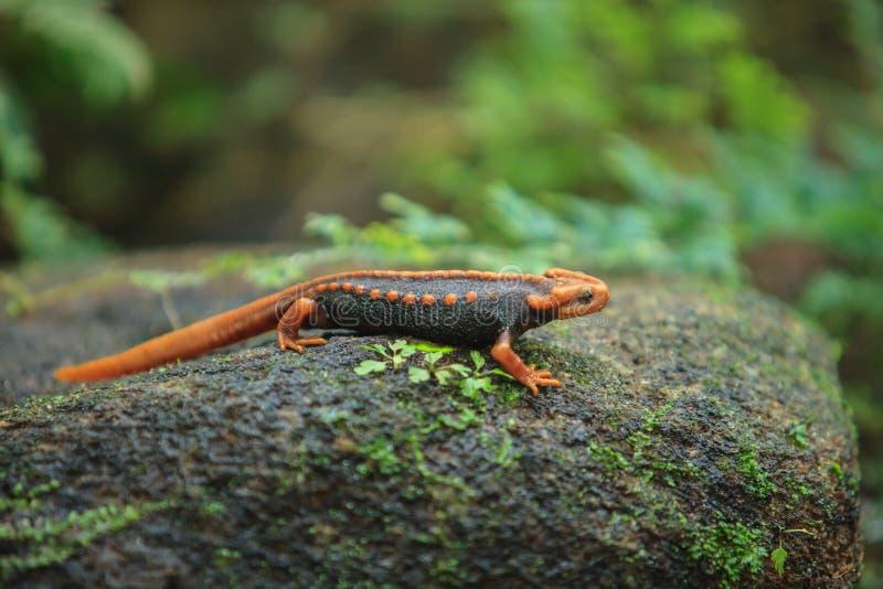 De krokodilsalamander is gevonden op Doi Inthanon, hig royalty-vrije stock foto's
