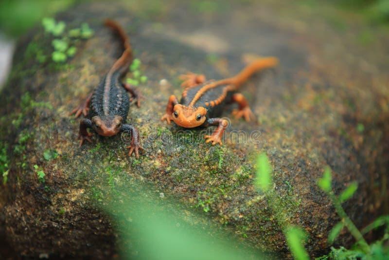 De krokodilsalamander is gevonden op Doi Inthanon, hig royalty-vrije stock afbeeldingen