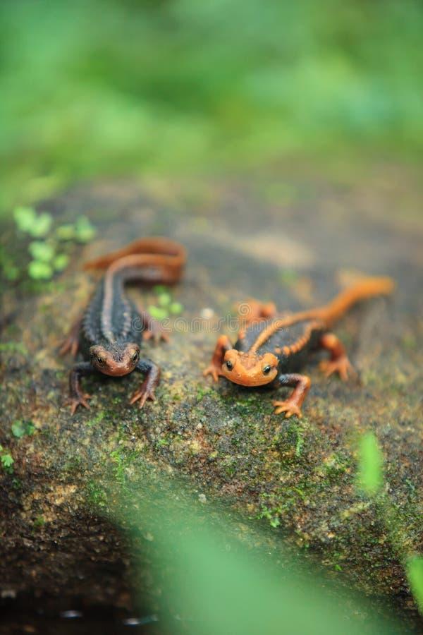 De krokodilsalamander is gevonden op Doi Inthanon, hig stock fotografie