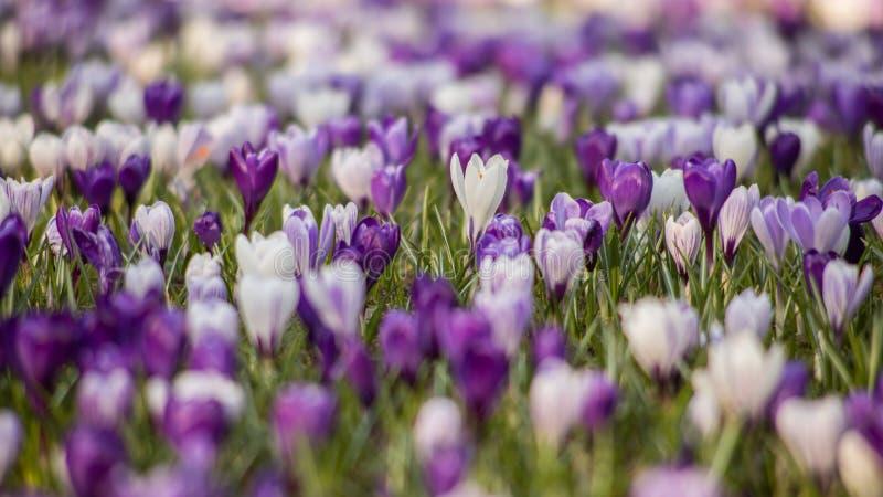De krokus bloeit gebied stock afbeeldingen