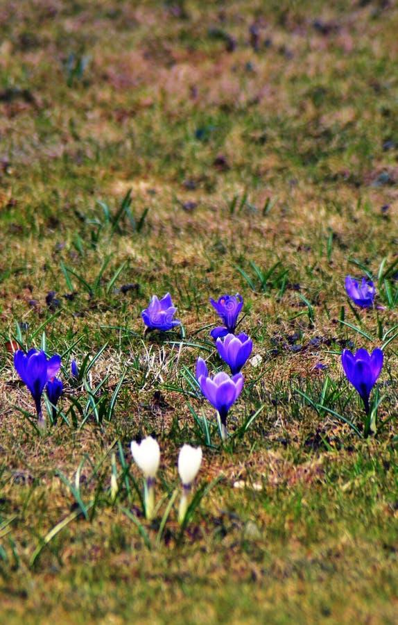 De krokus bloeit gebied, witte en donkerblauwe bloemen bij groene grasachtergrond stock afbeeldingen